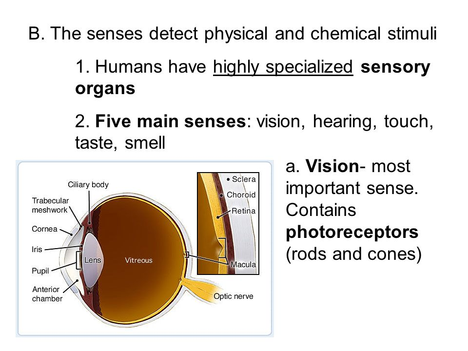 B. The senses detect physical and chemical stimuli