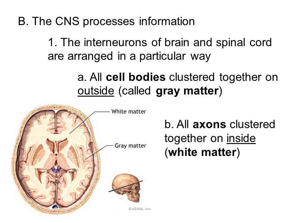 B. The CNS processes information