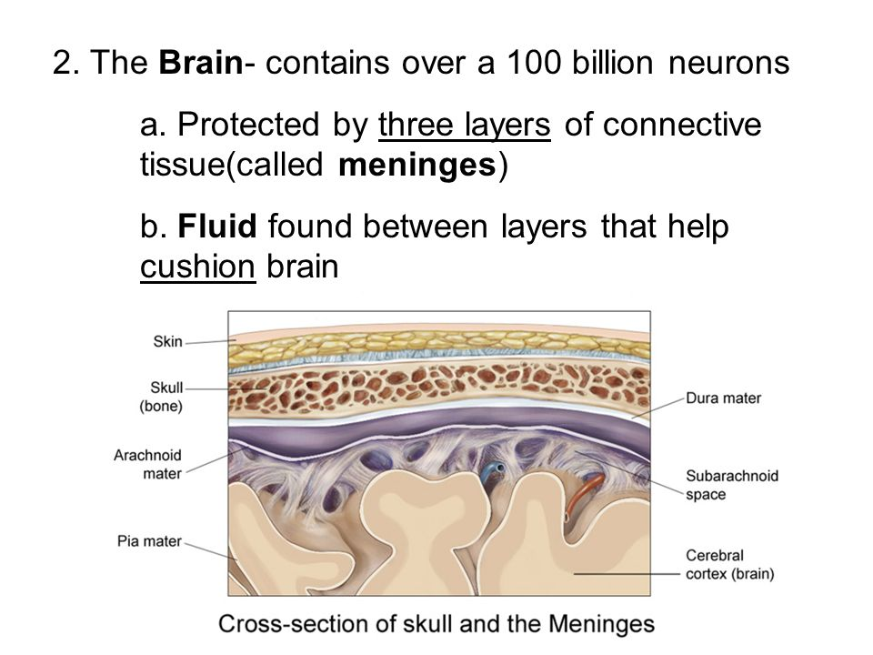 2. The Brain- contains over a 100 billion neurons
