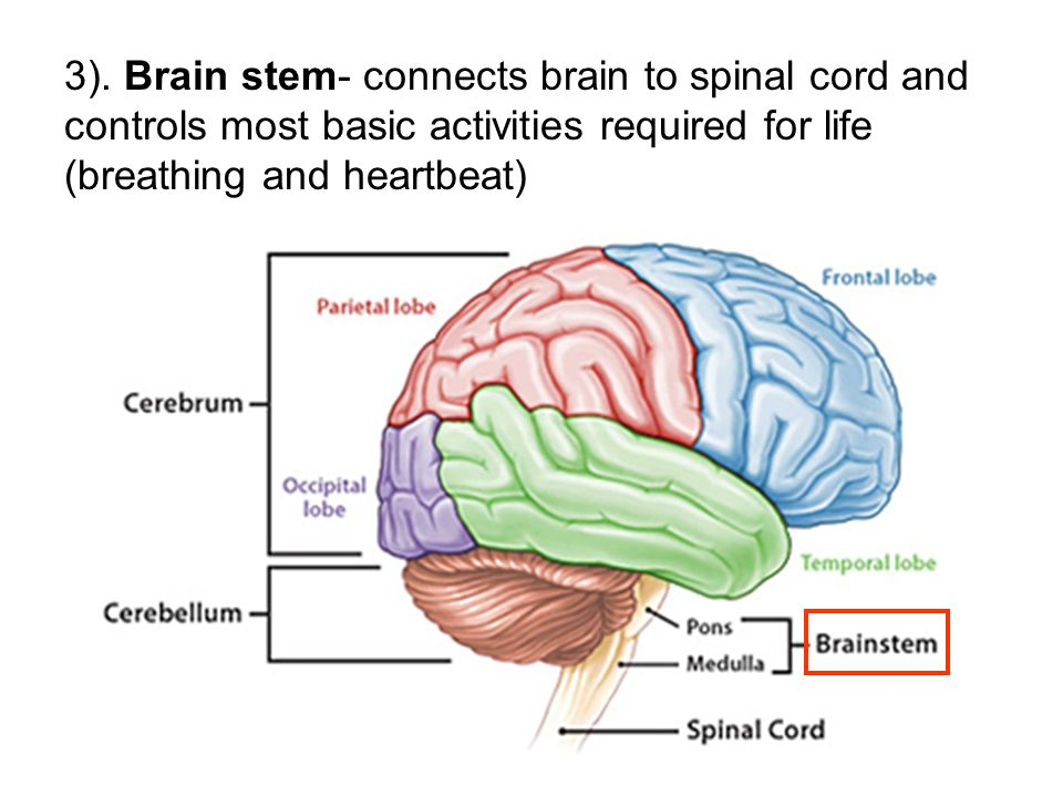 3). Brain stem- connects brain to spinal cord and controls most basic activities required for life (breathing and heartbeat)