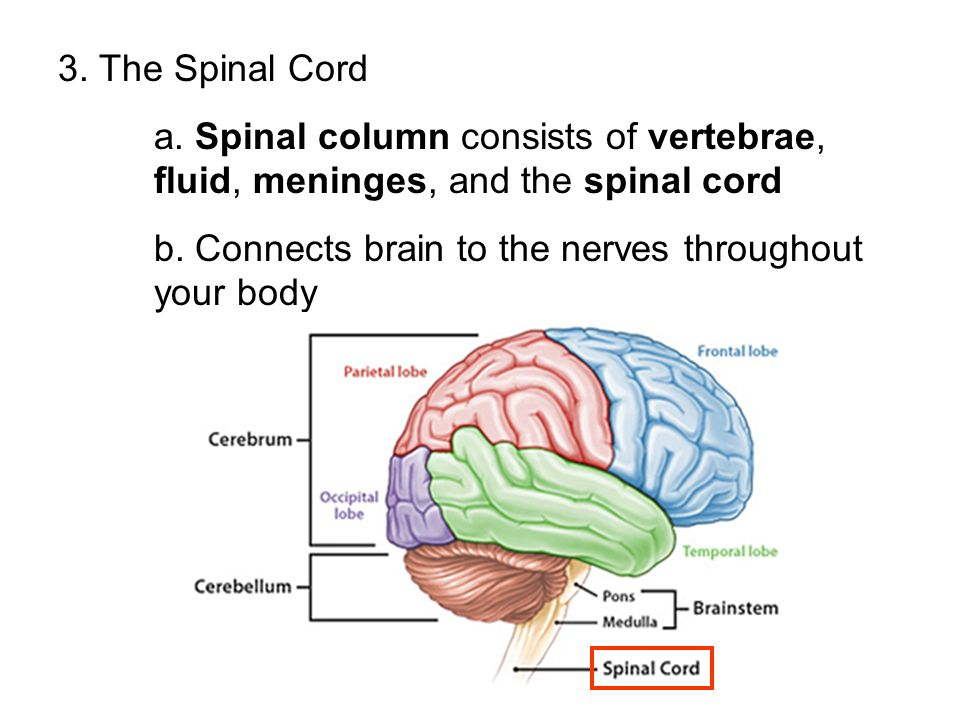 3. The Spinal Cord a. Spinal column consists of vertebrae, fluid, meninges, and the spinal cord.