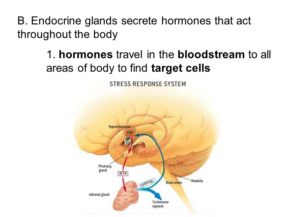 B. Endocrine glands secrete hormones that act throughout the body