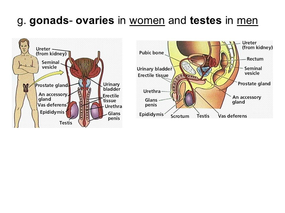 g. gonads- ovaries in women and testes in men