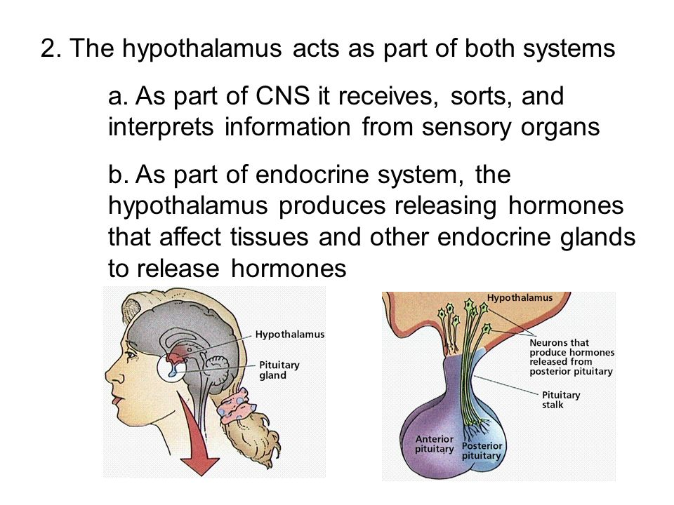2. The hypothalamus acts as part of both systems