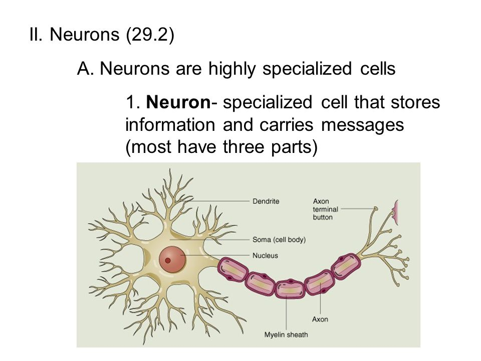 II. Neurons (29.2) A. Neurons are highly specialized cells.
