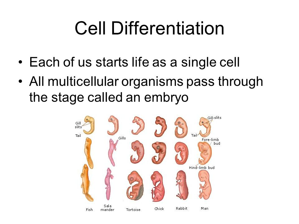 Cell Differentiation Each of us starts life as a single cell