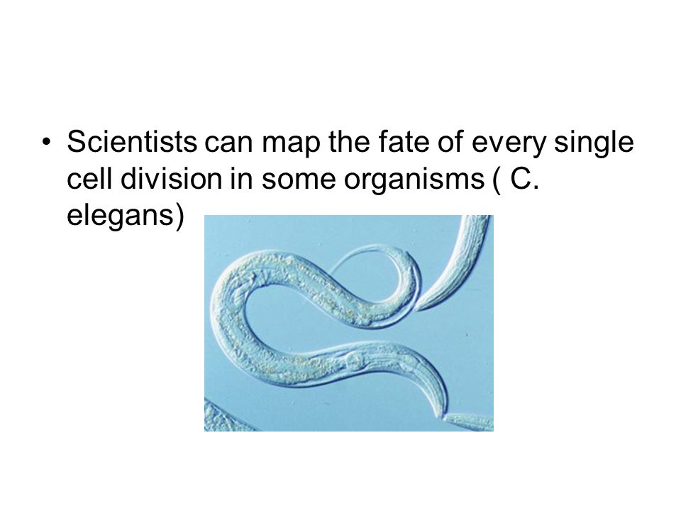 Scientists can map the fate of every single cell division in some organisms ( C. elegans)