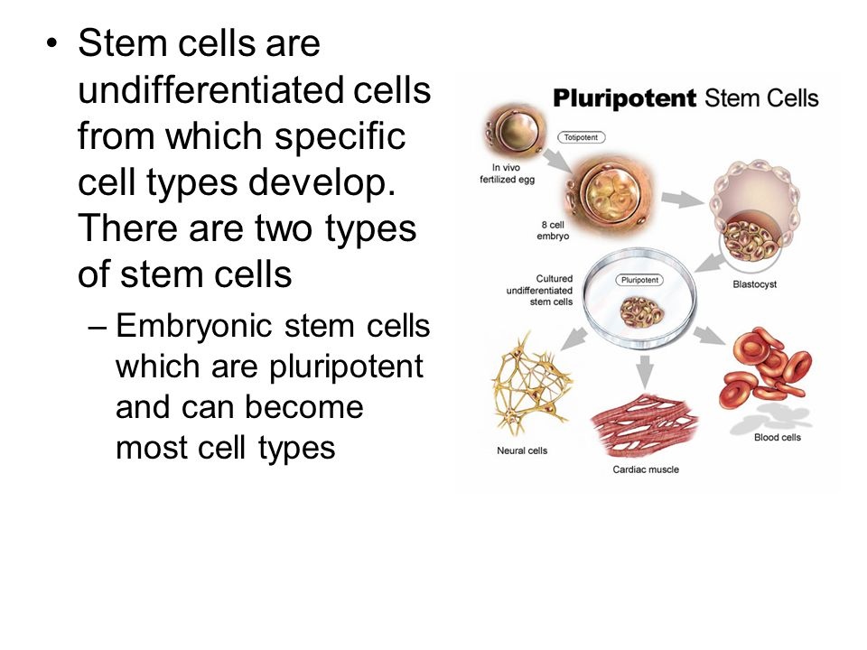 Stem cells are undifferentiated cells from which specific cell types develop. There are two types of stem cells