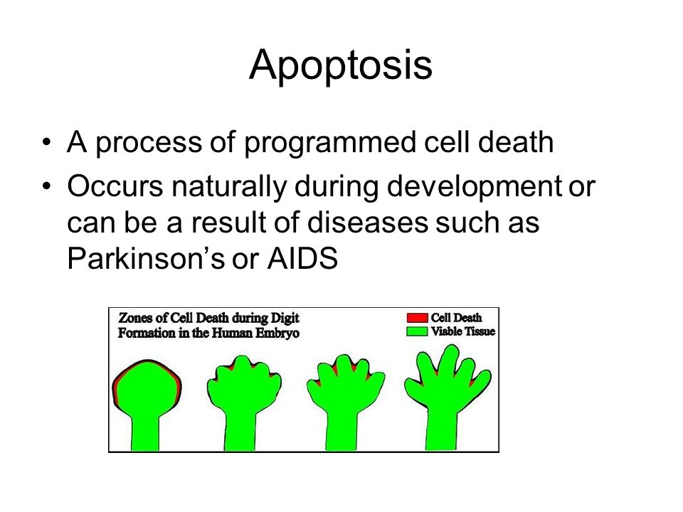 Apoptosis A process of programmed cell death