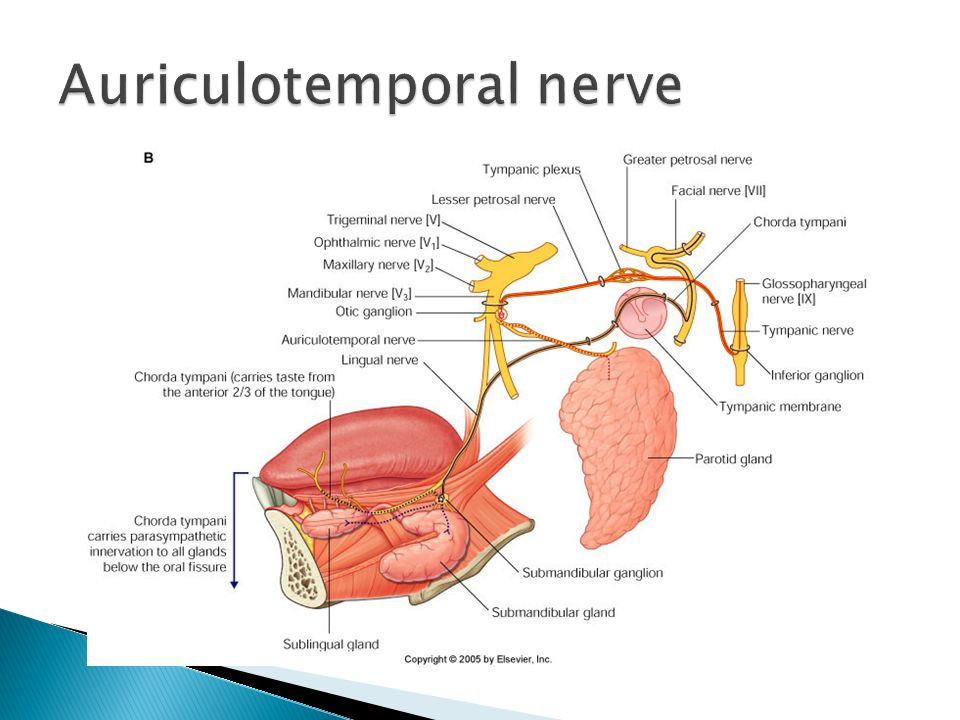 Nice Auriculotemporal Nerve Anatomy Crest Anatomy And Physiology