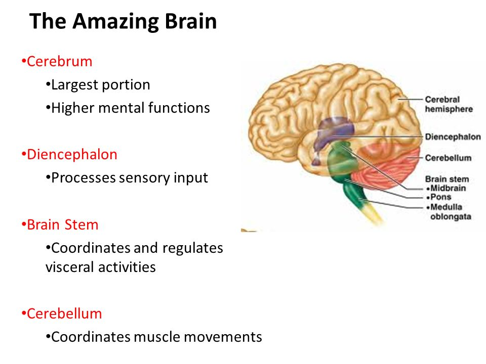 The Amazing Brain Weighs about 3 pounds Major portions: Cerebrum ...