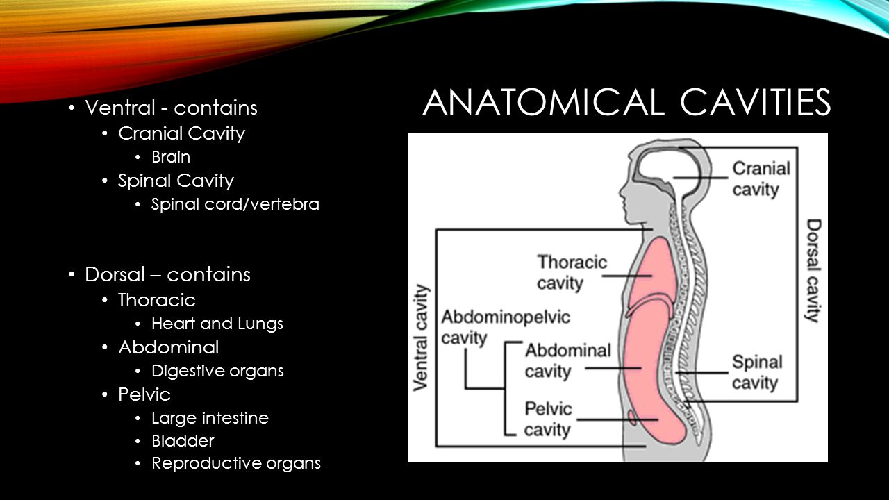 Anatomical Cavities Ventral - contains Dorsal – contains