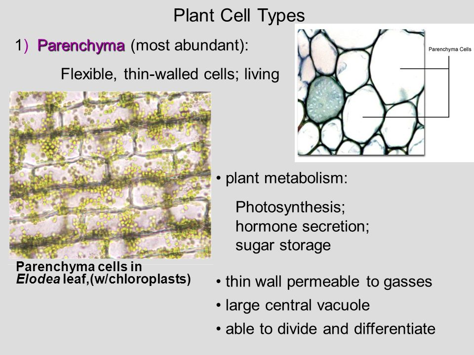 Plant Cell Types 1) Parenchyma (most abundant):