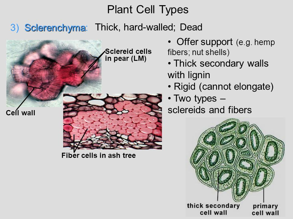 Plant Cell Types 3) Sclerenchyma: Thick, hard-walled; Dead