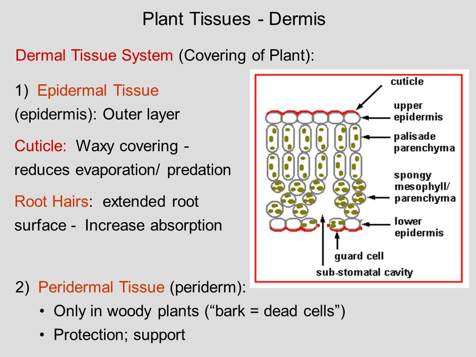 Plant Tissues - Dermis Dermal Tissue System (Covering of Plant):