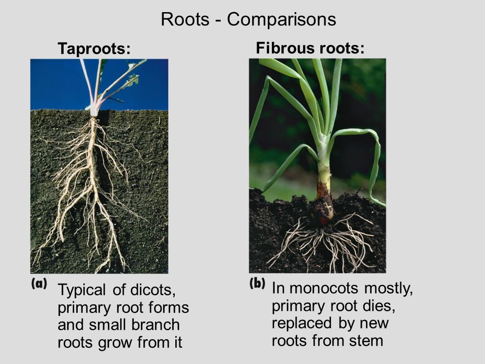 Roots - Comparisons Taproots: Fibrous roots: