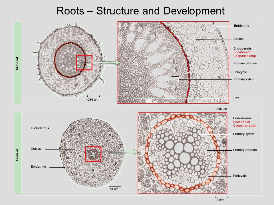 Roots – Structure and Development