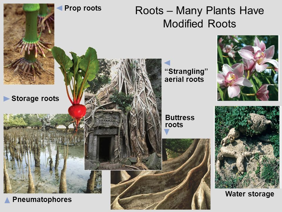 Roots – Many Plants Have Modified Roots