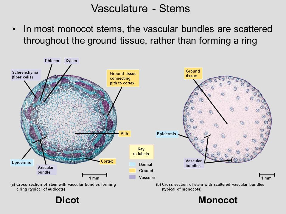 Vasculature - Stems In most monocot stems, the vascular bundles are scattered throughout the ground tissue, rather than forming a ring.