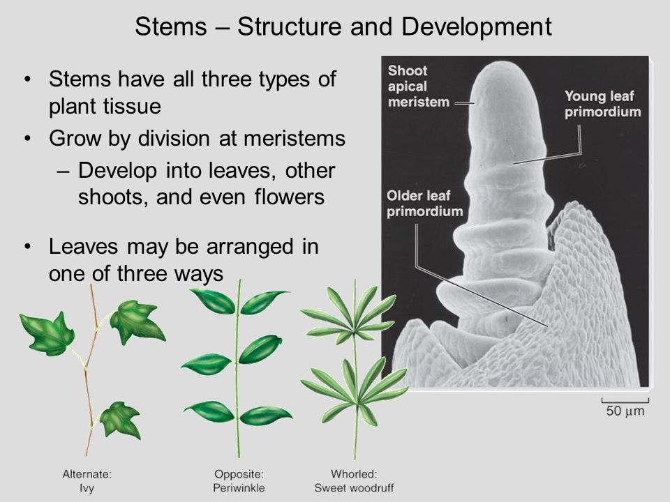 Stems – Structure and Development