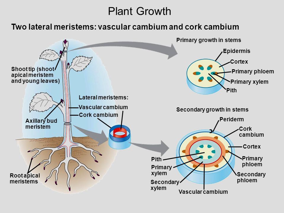 Plant Growth Two lateral meristems: vascular cambium and cork cambium