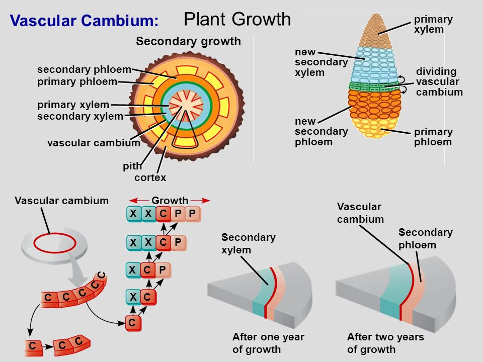 Plant Growth Vascular Cambium: Secondary growth primary phloem