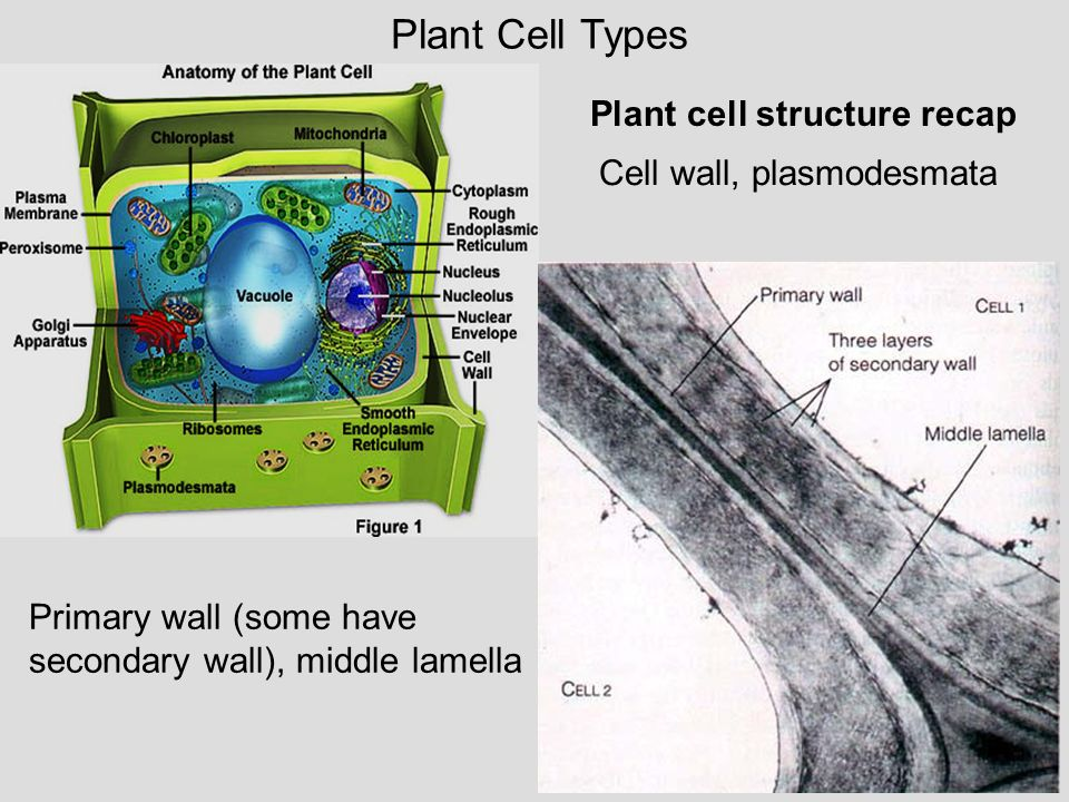 Plant Cell Types Plant cell structure recap Cell wall, plasmodesmata