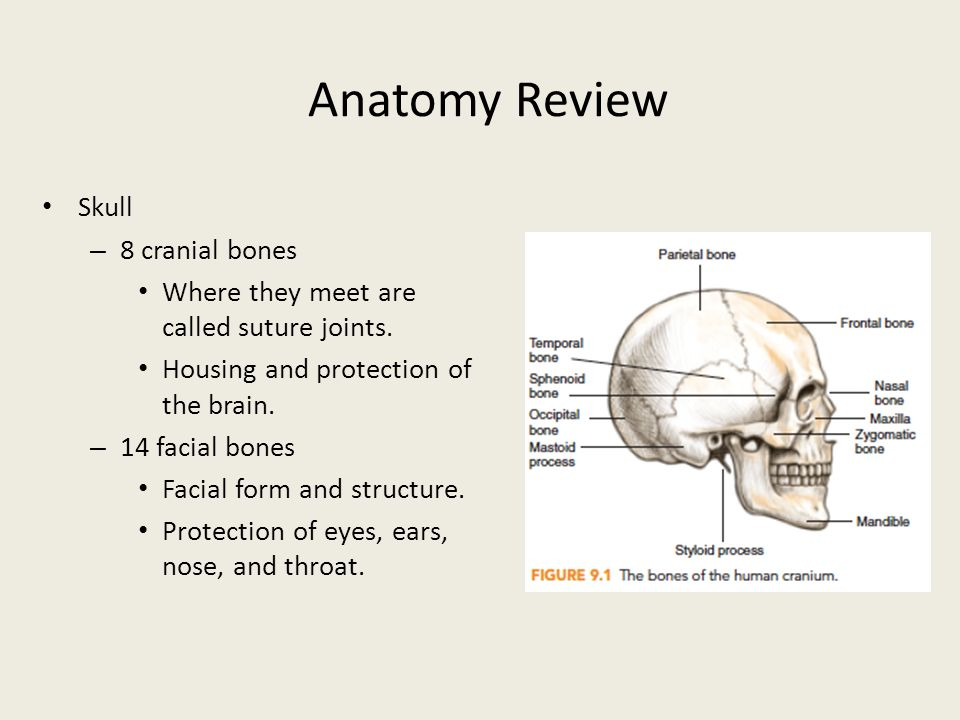 Head And Neck Anatomy Review Images - human body anatomy