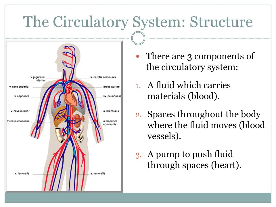 Lesson 3 The Circulatory System Ppt Video Online Download
