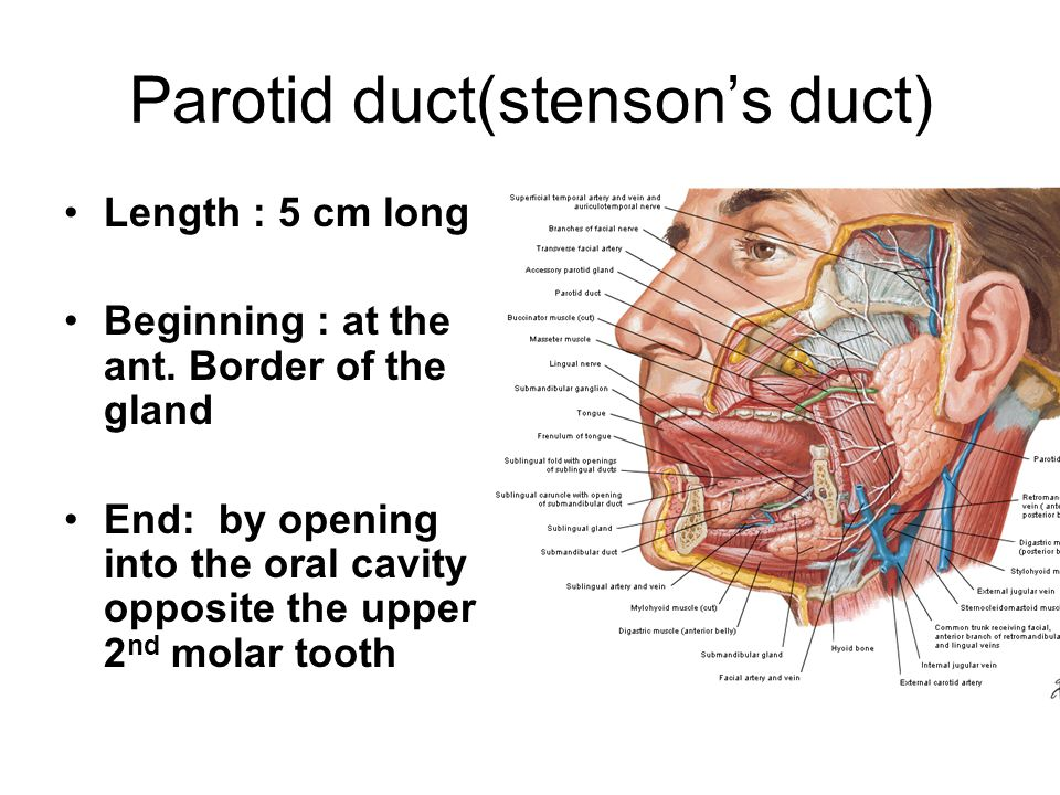 Anatomy II Head & Neck BY: DR - ppt video online download