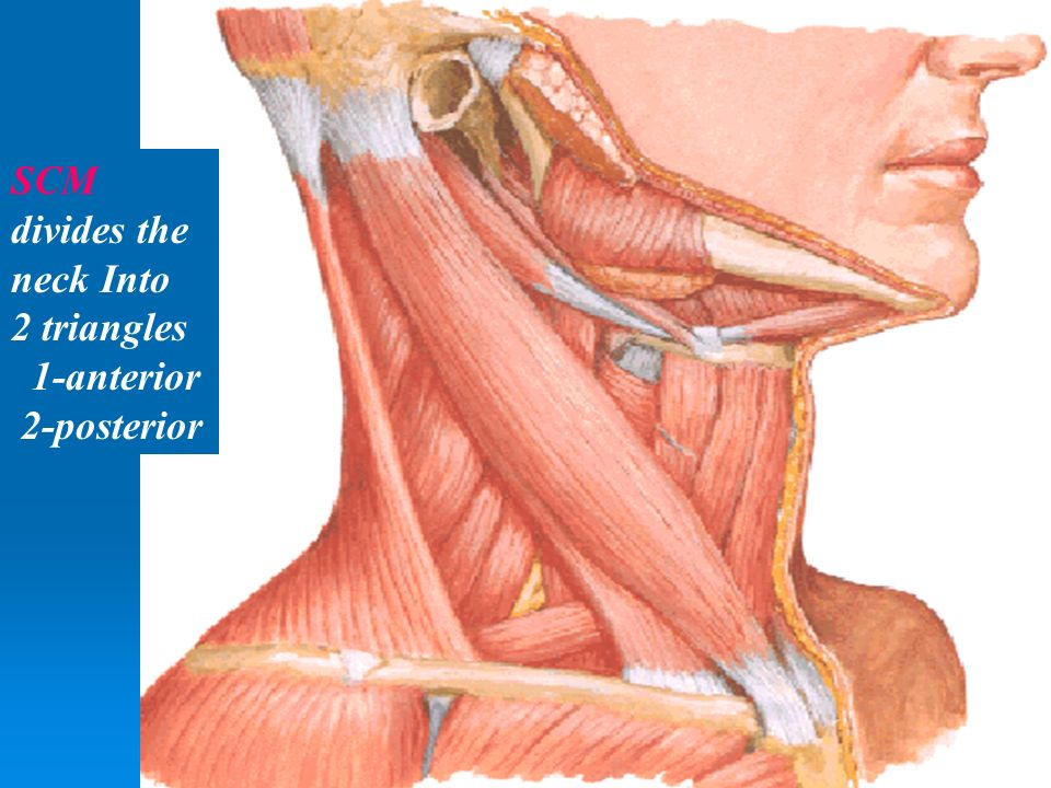Posterior Triangle of the Neck - ppt video online download