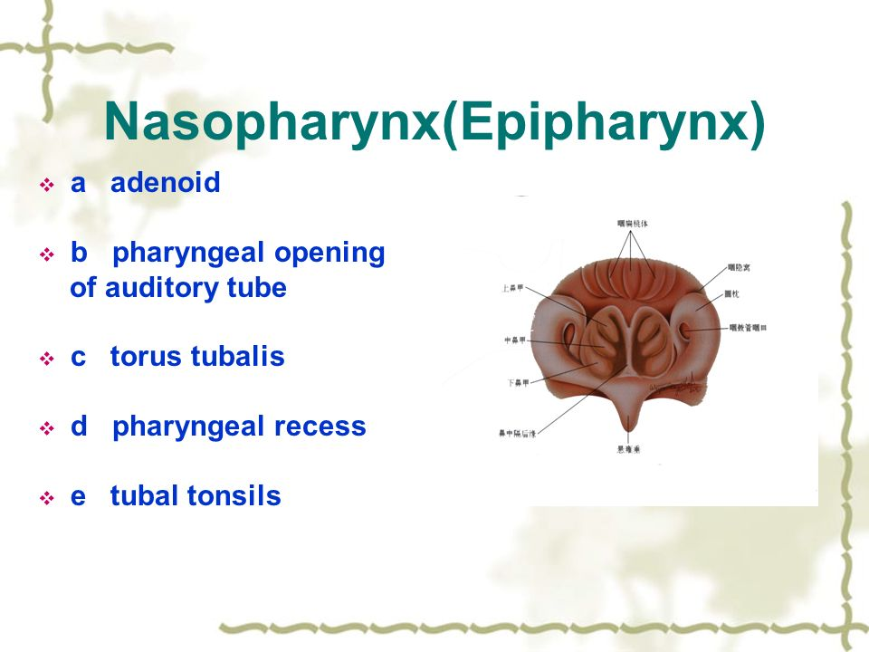 Applied anatomy of pharynx - ppt video online download