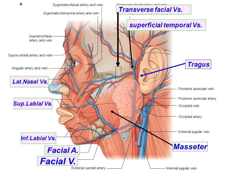 Facial Arteries Veins Diagram Diy Enthusiasts Wiring Diagrams