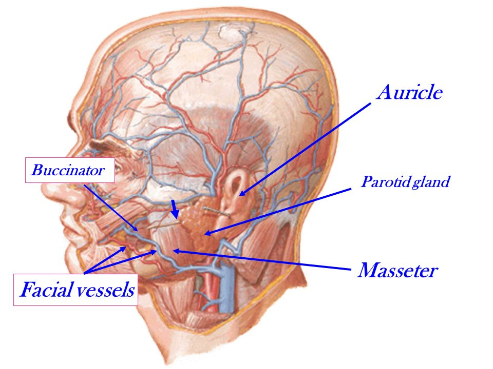 Anatomy Of The Face By Drayat Eldomouky Ppt Video Online Download