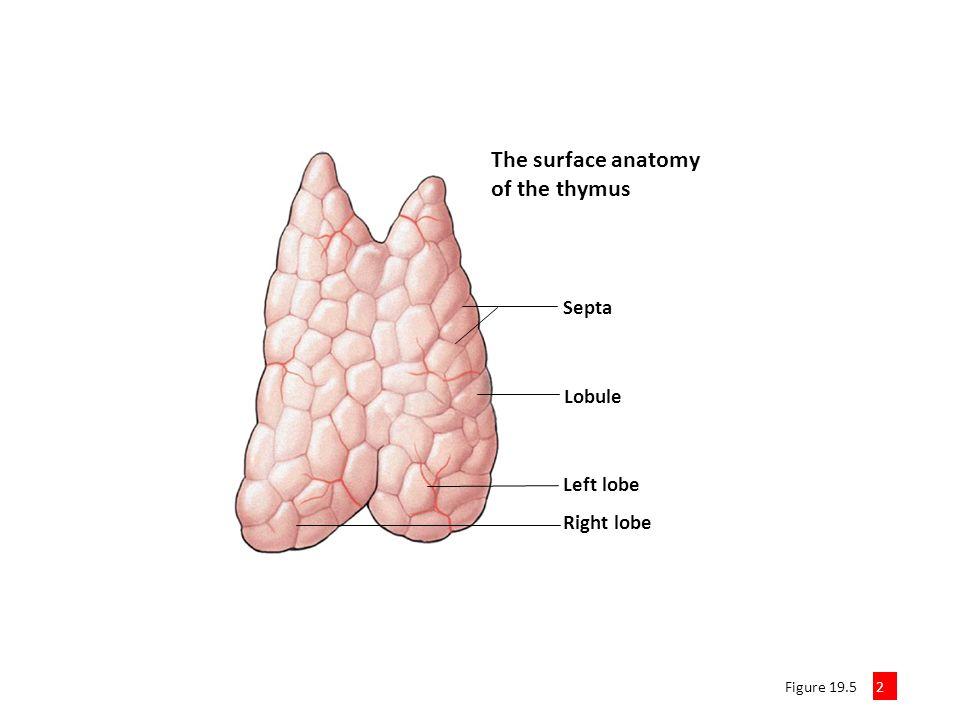 Anatomy Of Thymus Images - human body anatomy