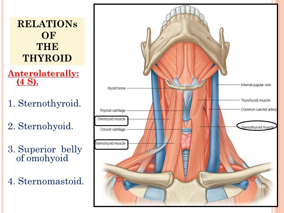RELATIONs OF THE THYROID