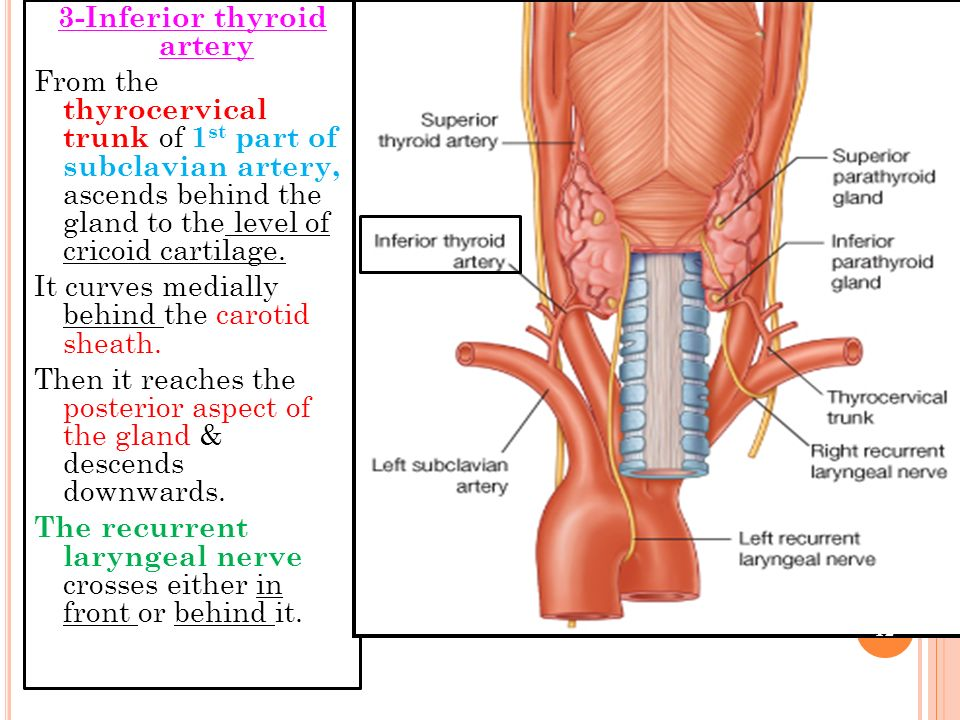 3-Inferior thyroid artery From the thyrocervical trunk of 1st part of subclavian artery, ascends behind the gland to the level of cricoid cartilage.