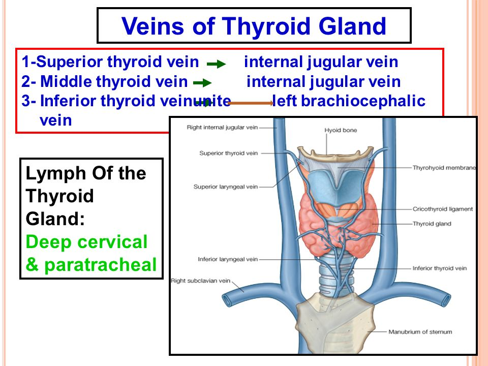 Veins of Thyroid Gland Lymph Of the Thyroid Gland: