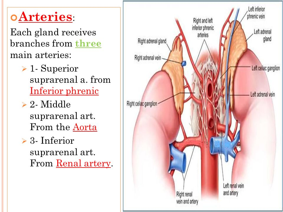 Arteries: Each gland receives branches from three main arteries: