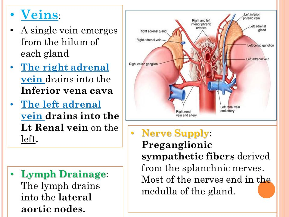 Veins: A single vein emerges from the hilum of each gland