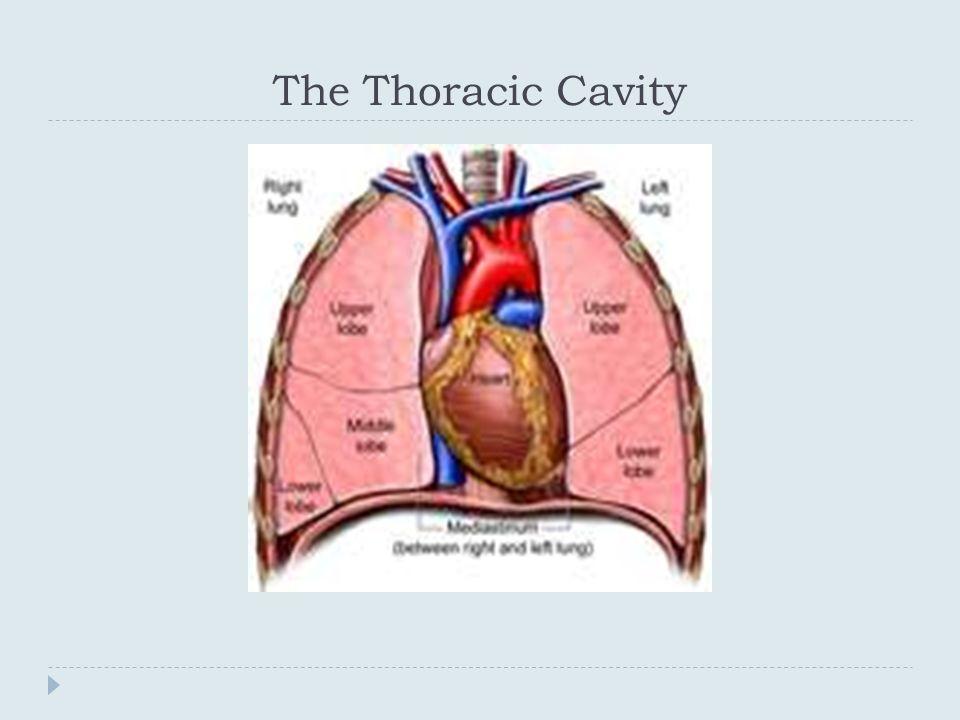 Modern Anatomy Of Thoracic Cavity Pattern - Anatomy And Physiology ...