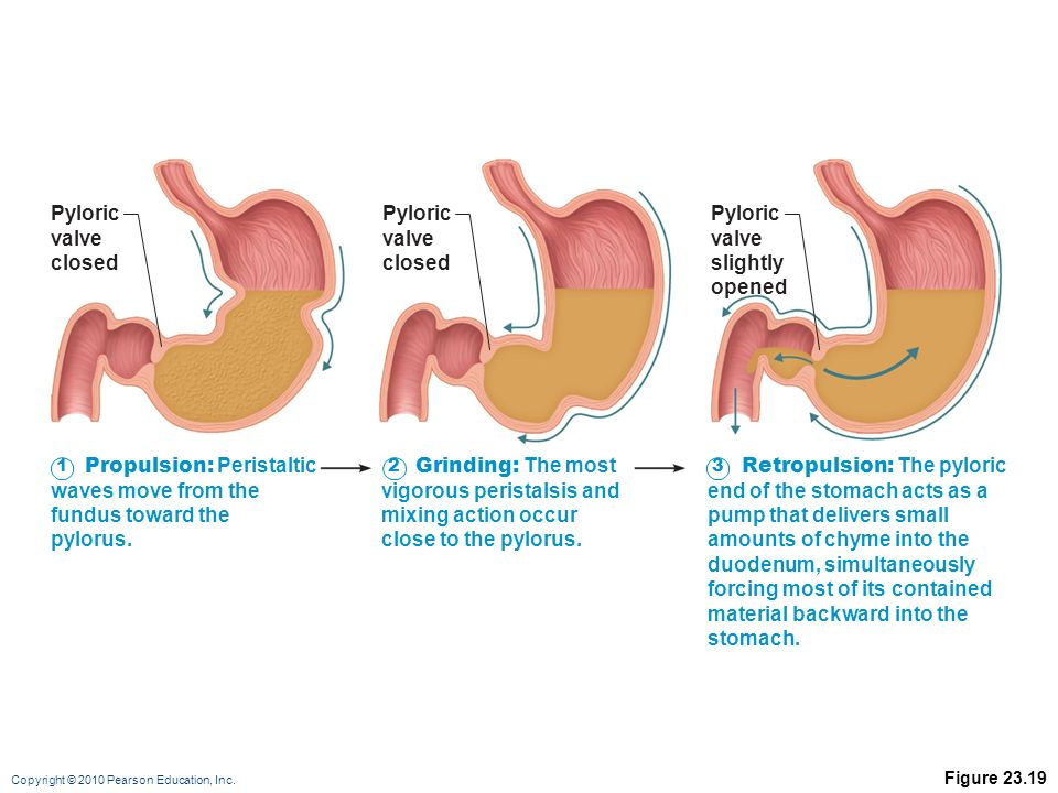 The Digestive System: Part B - ppt video online download
