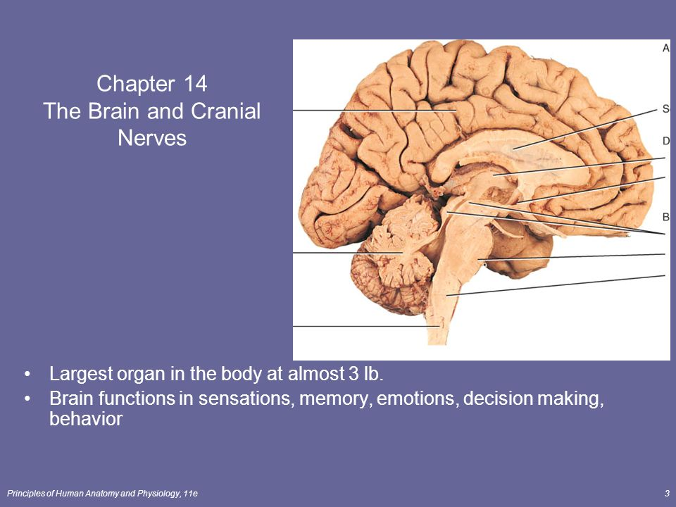 The Brain and Cranial Nerves Lecture Outline - ppt download