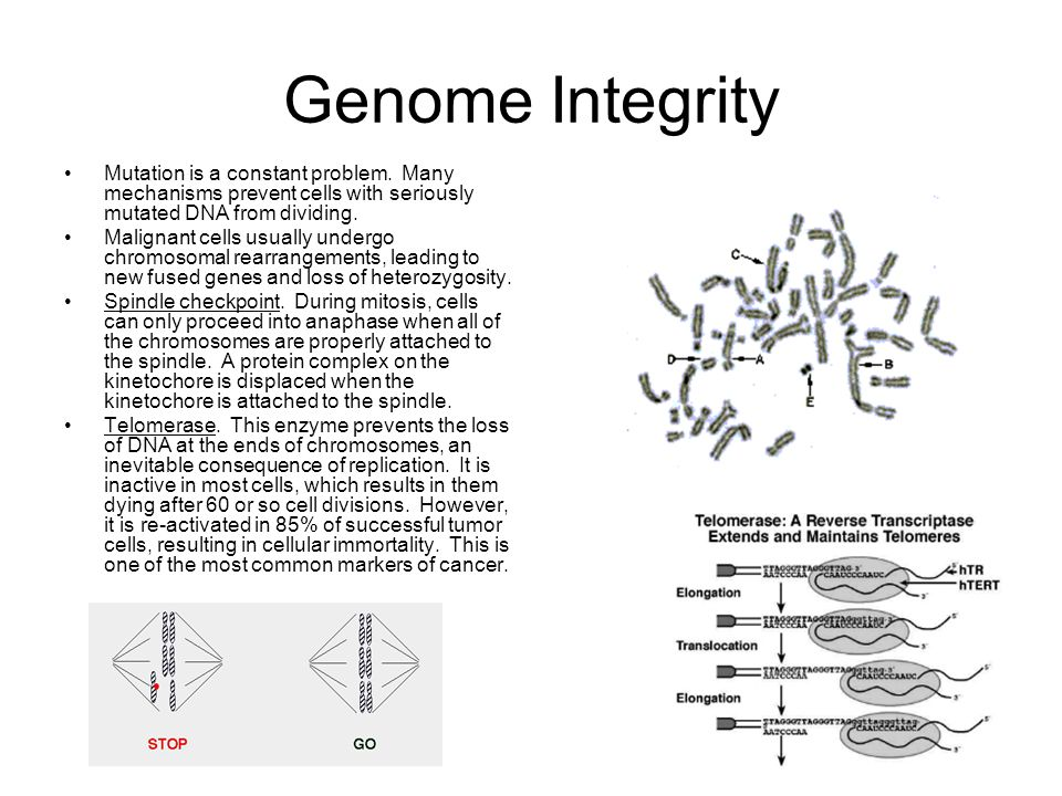 Genome Integrity Mutation is a constant problem. Many mechanisms prevent cells with seriously mutated DNA from dividing.