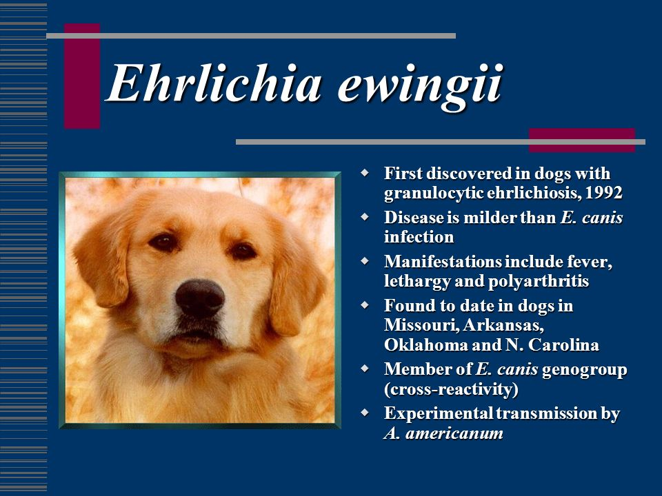 Ehrlichia ewingii First discovered in dogs with granulocytic ehrlichiosis, 1992. Disease is milder than E. canis infection.