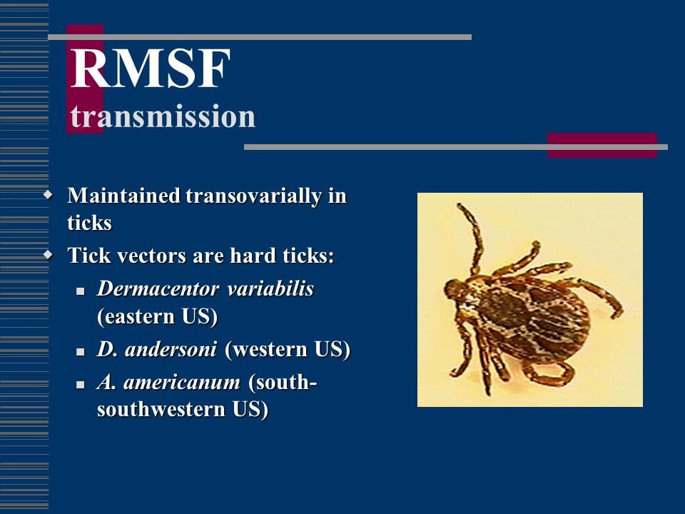 RMSF transmission Maintained transovarially in ticks