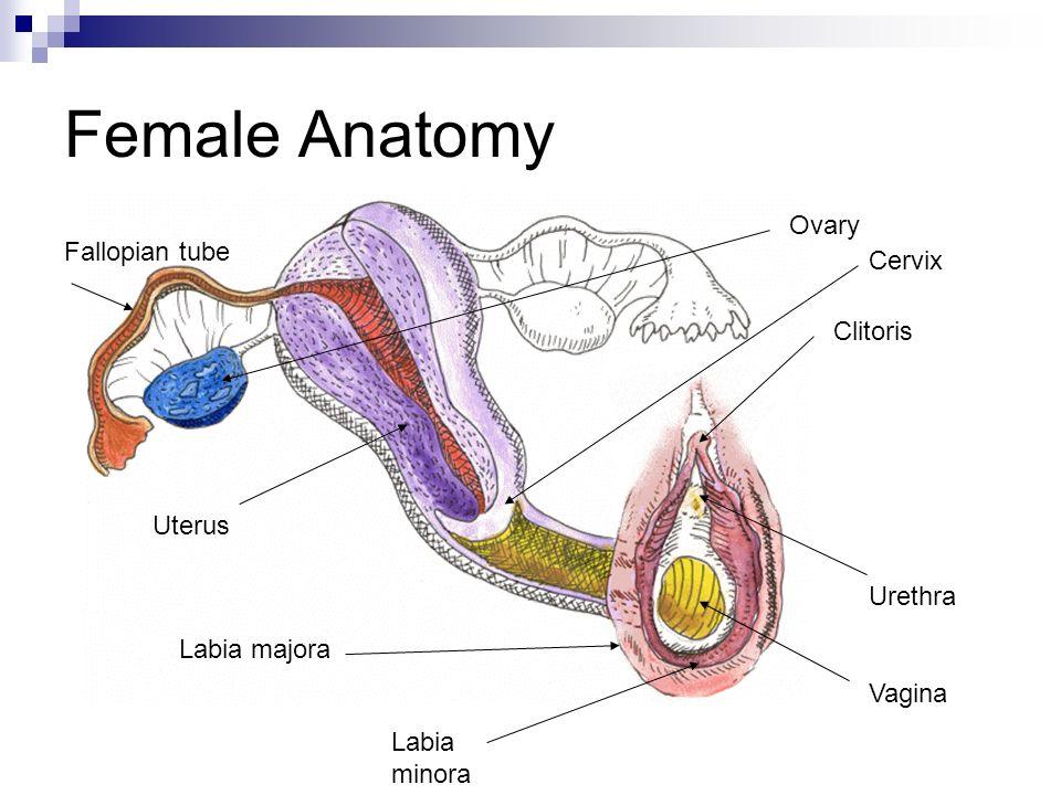 Anatomy Of Cervix And Uterus Choice Image - human body anatomy