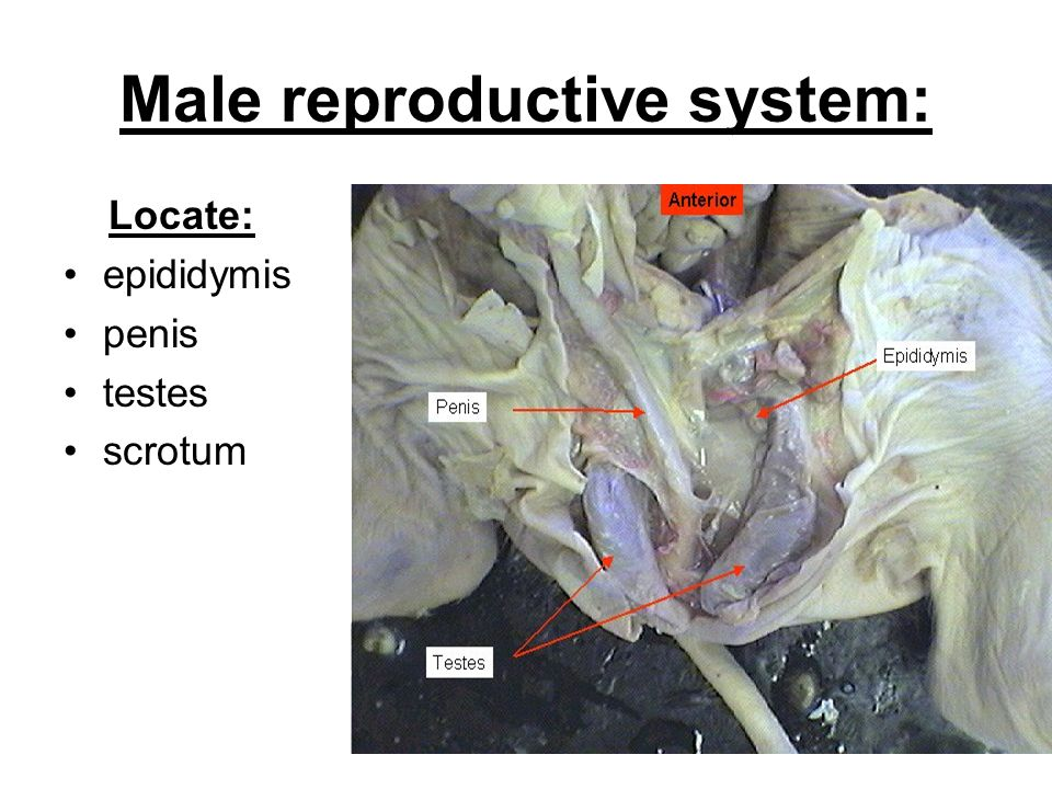 19 male reproductive system: