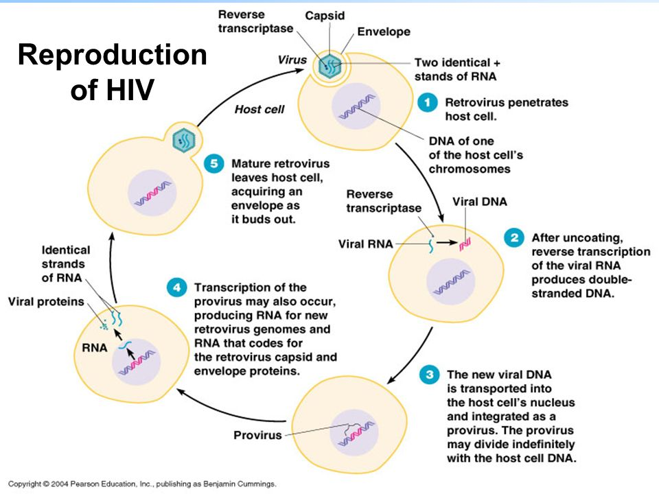 Reproduction of HIV