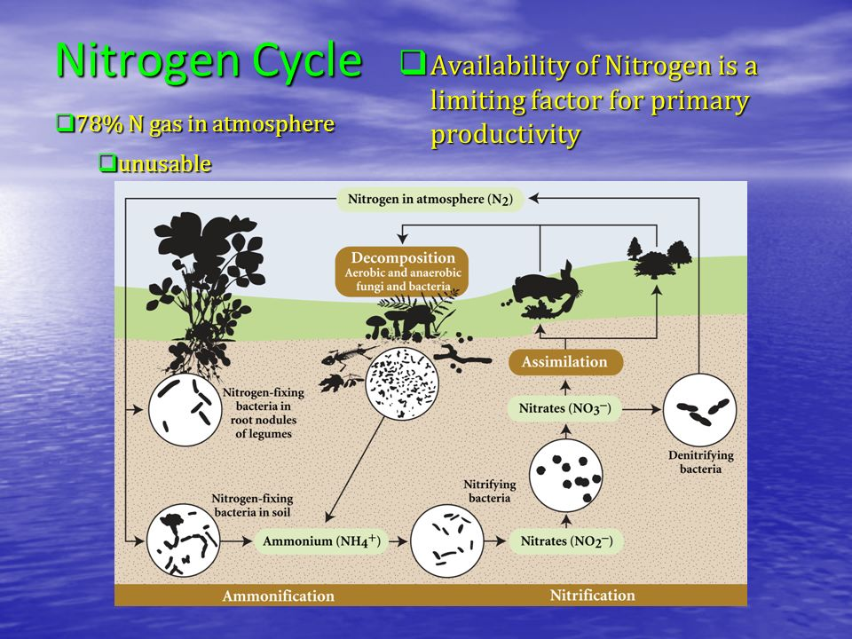 Nitrogen Cycle Availability of Nitrogen is a limiting factor for primary productivity. 78% N gas in atmosphere.